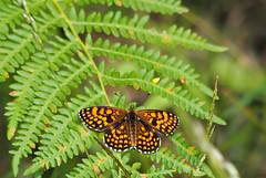 Mélitée (Meliteae sp.)