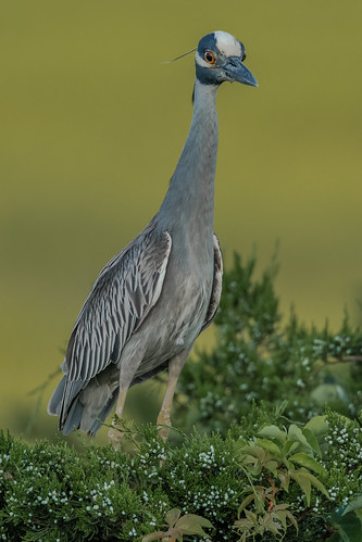 Yellow-Crowned Night Heron (Explored, Thank You)