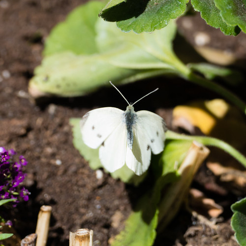 Large white butterfly collection