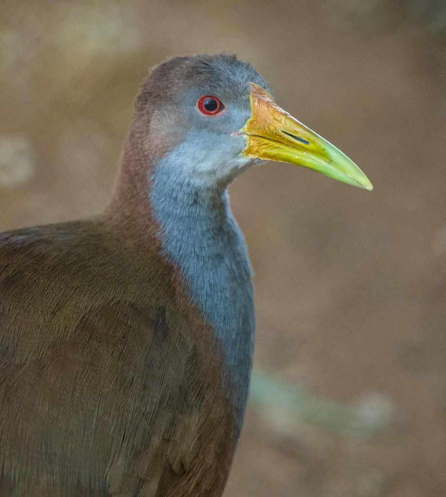 Giant Wood Rail_5