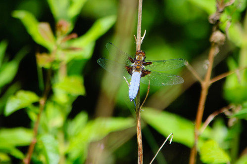 Male broad-bodied chaser, Baggeridge Country Park