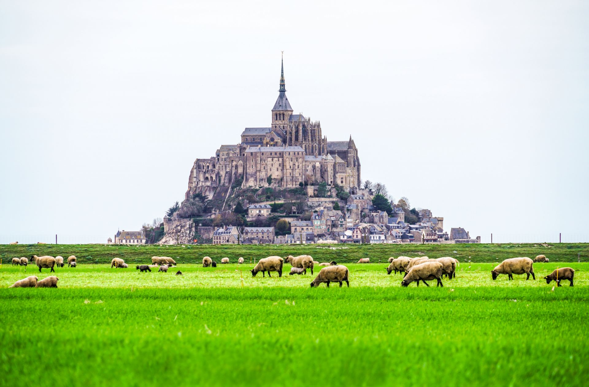 Mont Saint-Michel with Agneau de pré-salé (salt meadow lambs) grazing in a pasture covered in halophyte grasses with a high salinity and iodine content, causing their meat to have a distinct taste that is considered a delicacy.