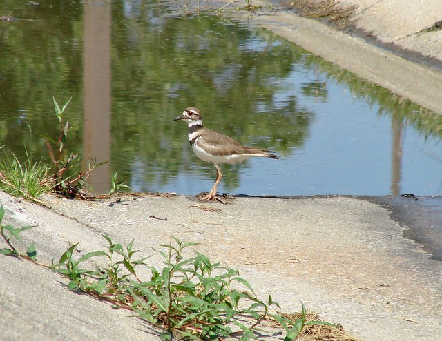 Killdeer, Sony DSC-H5