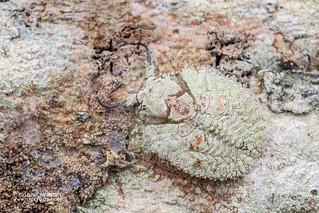 Owlfly larva (Ascalaphidae) - DSC_5375