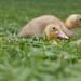 Runner ducklings