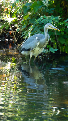 Heron by the far bank, hunting