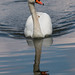 Mute Swan a-swimming