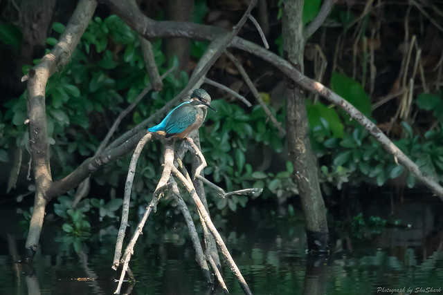 20180715-kingfisher-DSC_6743
