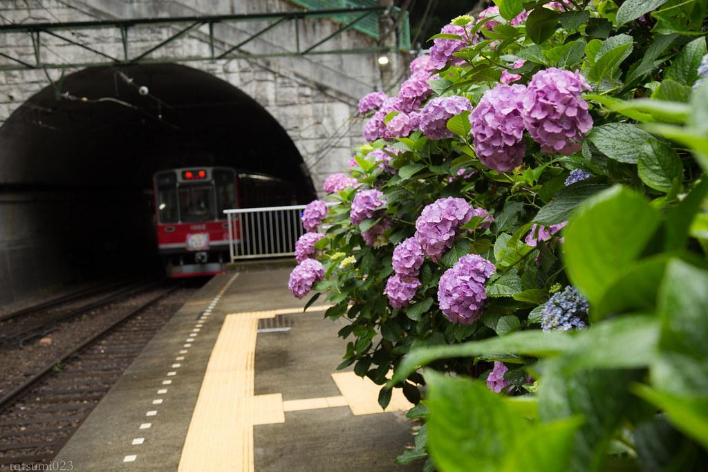 2018-06-15 箱根登山鉄道と紫陽花 007