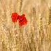 La solitude est un coquelicot perdu dans un champ de blé by Croc'odile67