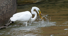 Great Egret doing a little fishing