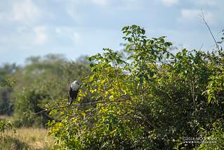 African fish eagle (Haliaeetus vocifer) - DSC_5436