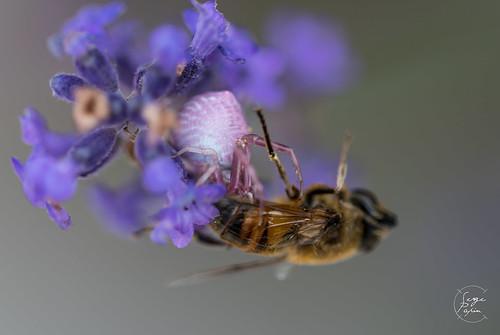 Araignée crabe (Misumena vatia) se régalant d'une abeille.