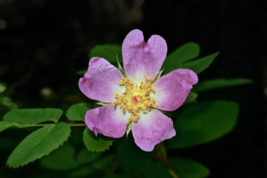 dwarf rose, wood rose
