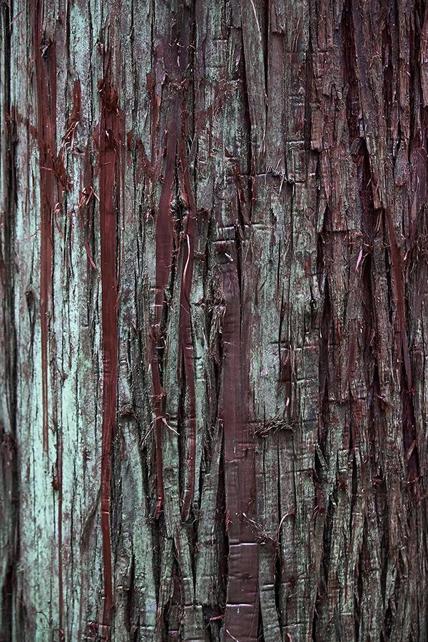 Rought bark texture cryptomeria japonica