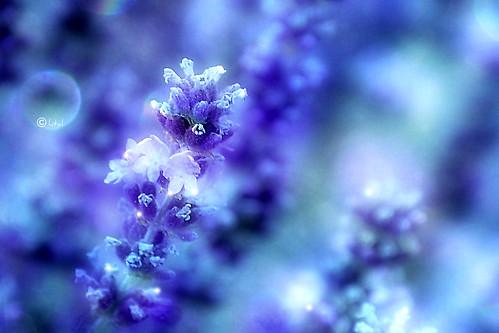 DAY 198. Lavender