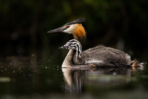 Great-crested Grebe & chick