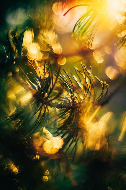 #227 - Pine tree / Borovice