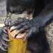 "Sun bear ""Cleopatra"" uses her teeth to break into the ice bamboo container containing honey-milk"