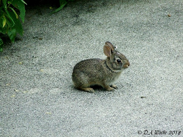 Baby Cottontail, Fujifilm FinePix S5200