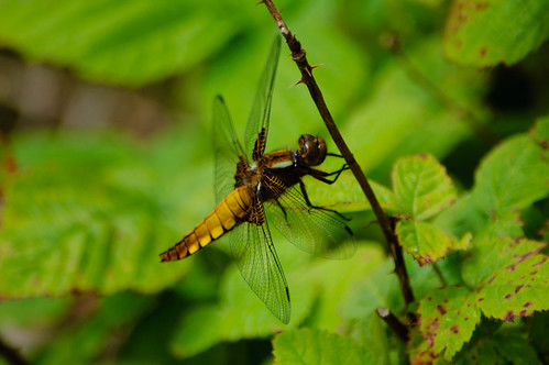 Female scarce chaser dragonfly (Libellula fulva), Baggeridge Country Park