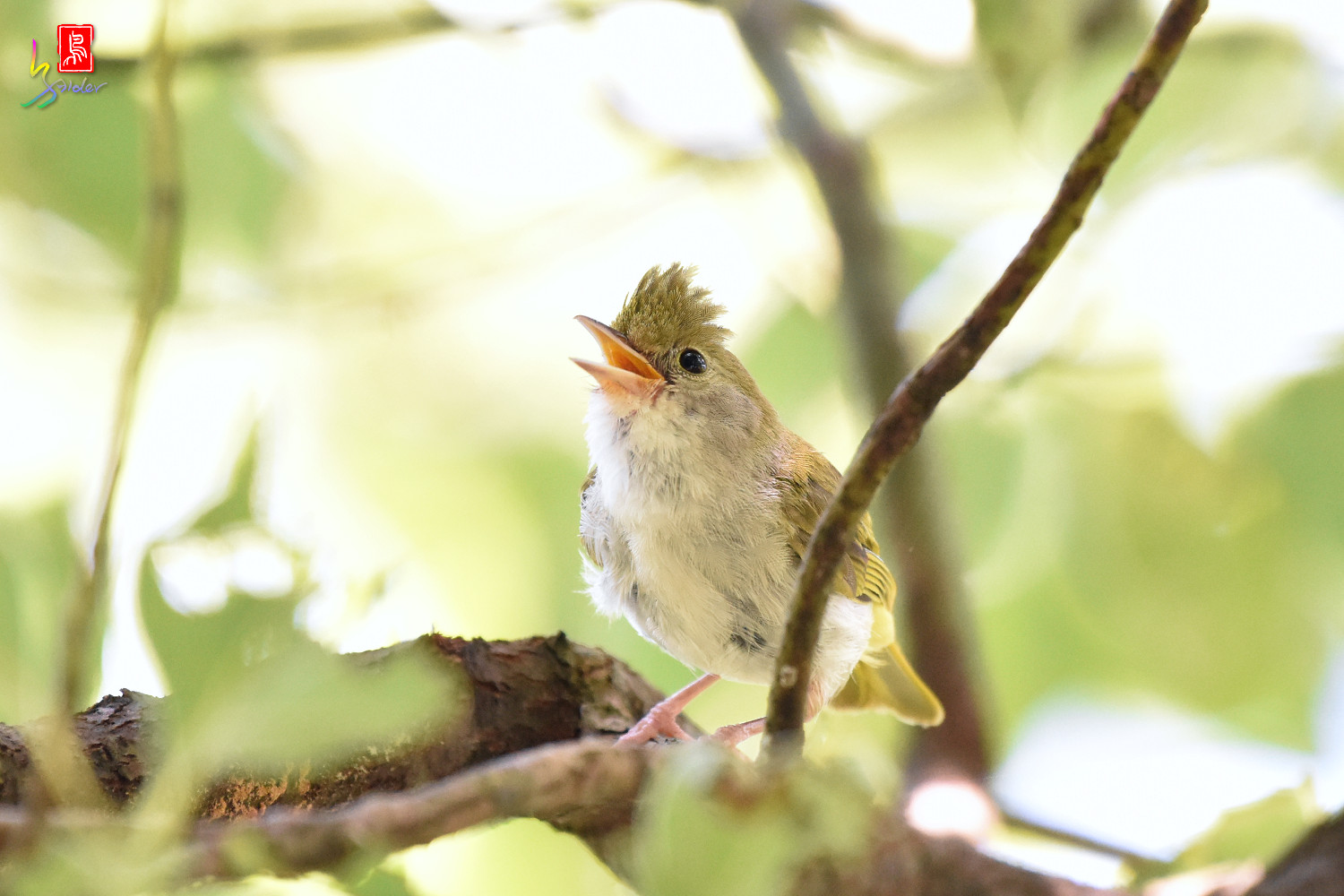 White-bellied_Yuhina_9751
