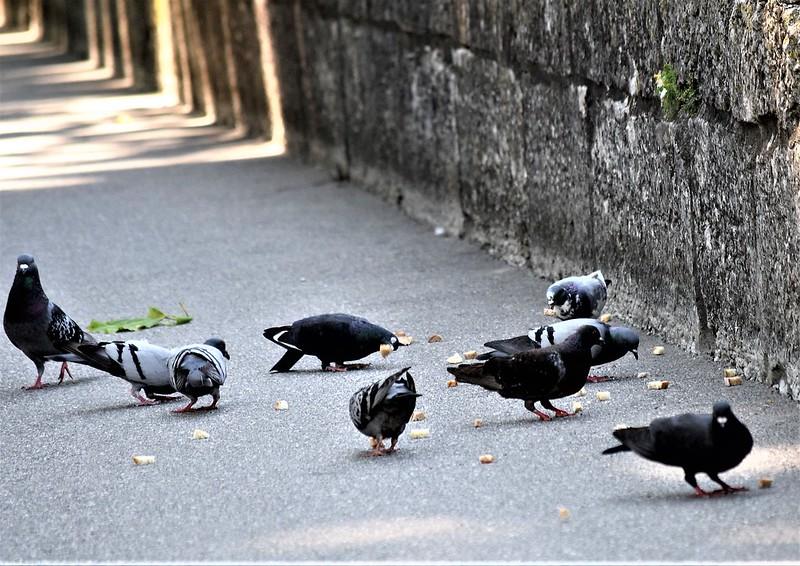 Pigeons 16.07 (3)