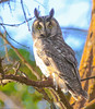 Long-eared Owl by Ceredig Roberts