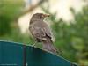 Amselfrau Waltraud - Blackbird Waltraud