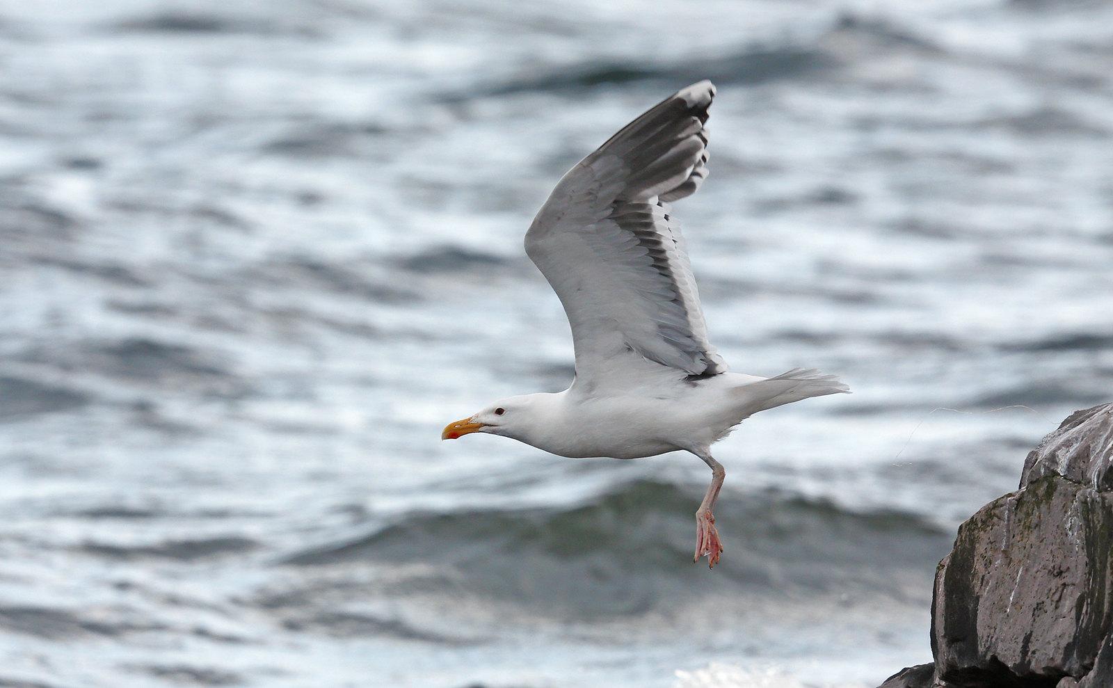 Northern Herring Gull