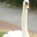 Male swan ( Cob ) on the look out