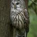 Barred Owl by OwlPurist