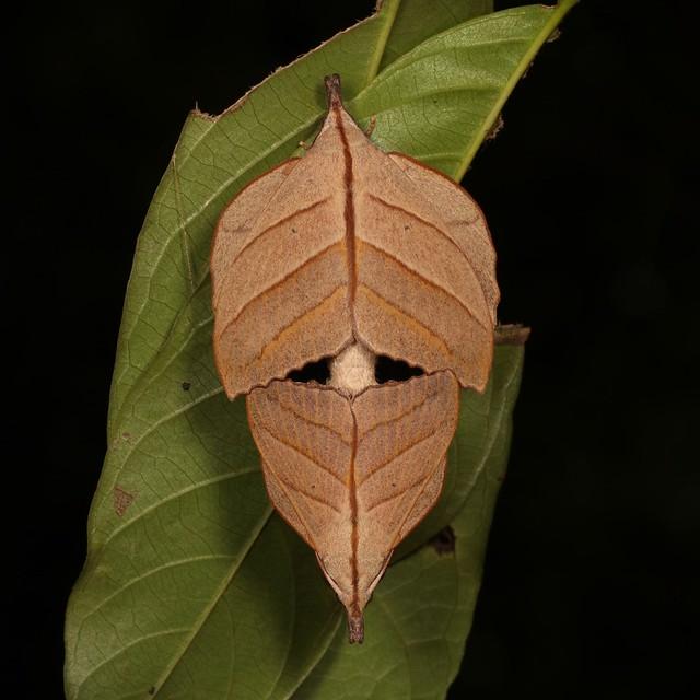 Lappet Moth Couple (Arguda vinata, Lasiocampidae)
