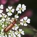 Longhorn Beetle - Obrium brunneum