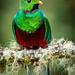 Resplendent Quetzal by Rainforest Photo Tours