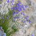 Harebells (Campanula rotundifolia) growing on cliff