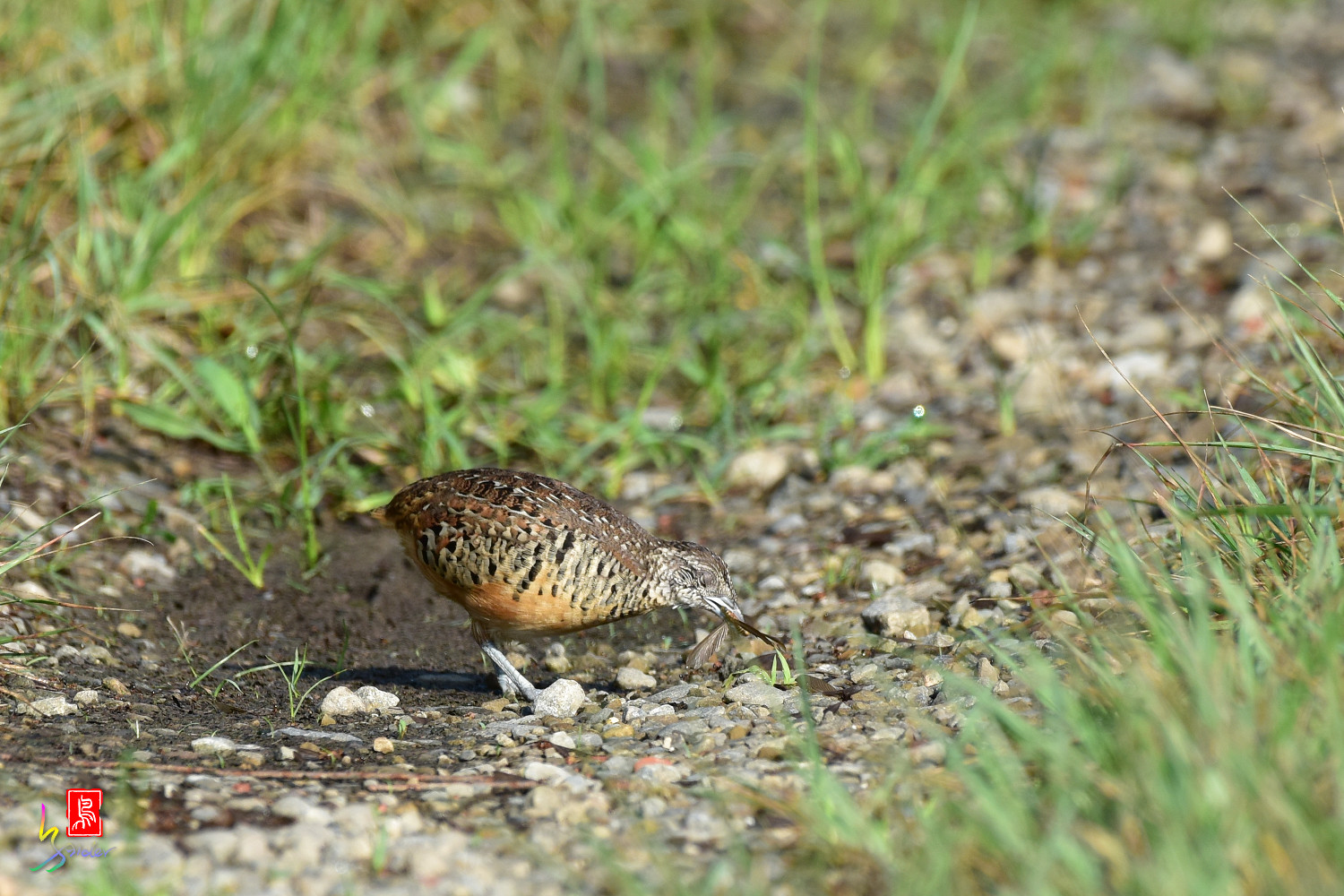 Barred_Buttonquail_3751
