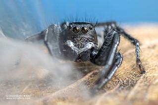 Jumping spider (Hyllus argyrotoxus) - DSC_4159