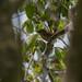 RSPB Ham Wall-Cetti's Warbler