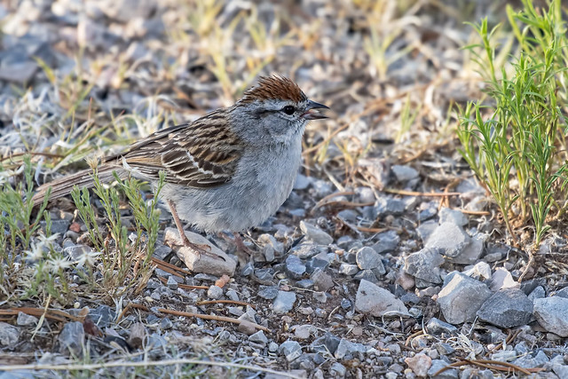 Chipping-Sparrow-67-7D2-061718