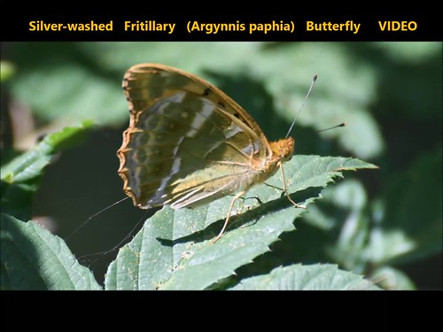 Silver-washed Fritillary (Argynnis paphia) Butterfly  VIDEO