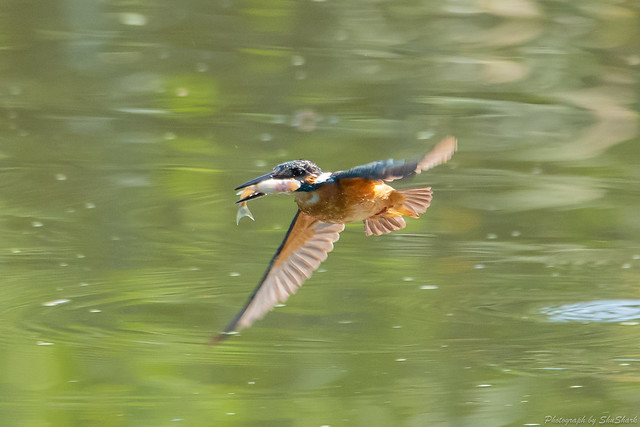 20180714-kingfisher-DSC_6180