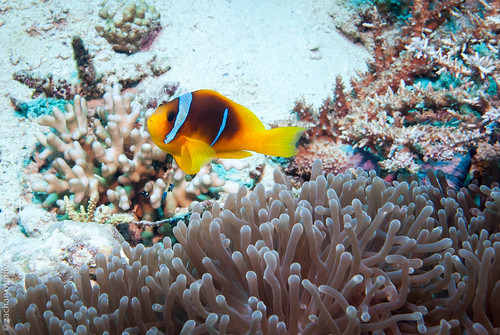 Red Sea Clownfish (amphiprion bicinctus)
