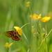 Kirjoverkkoperhonen, Kitee