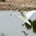 Mute Swan landing
