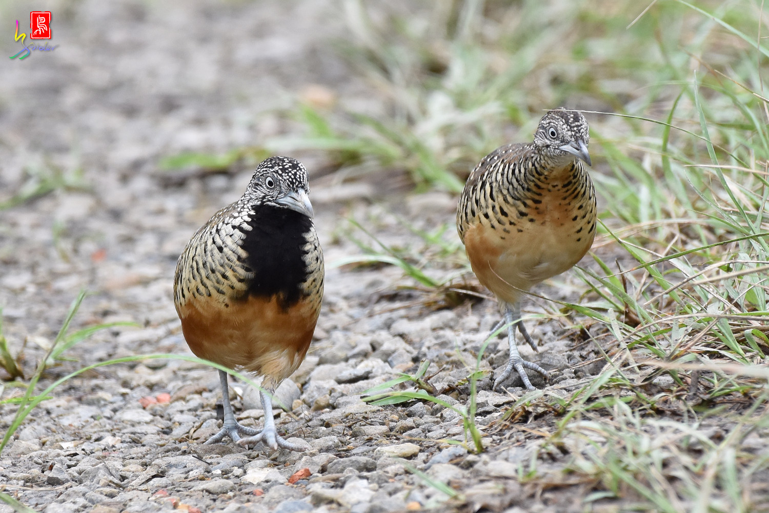 Barred_Buttonquail_5078