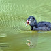 Moorhen chick on the water.R251.267.