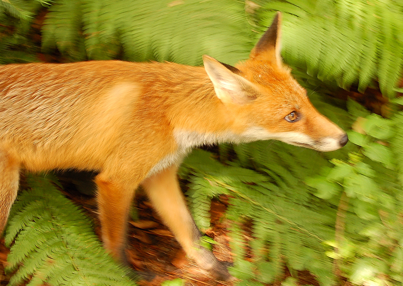 A European red fox (V. vulpes crucigera) in an inquisitive posture. Photo taken in July 2006 at Botanic Garden of the Biology Faculty of Warsaw University in the center of Warsaw.