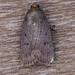 Mouse Moth - Amphipyra tragopoginis