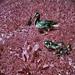 Ducks 24